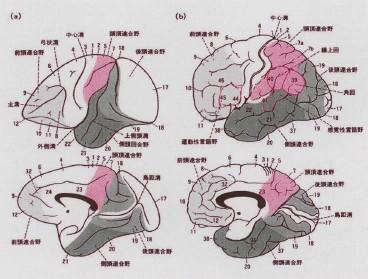図 脳の部位ごとの名称 前頭連合野